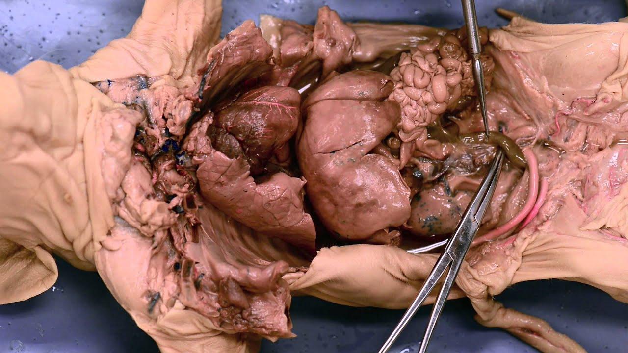maxresdefault jpgFetal Pig Dissection