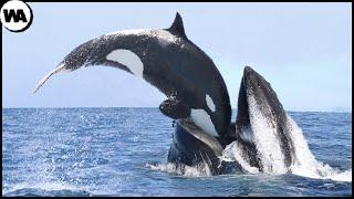 Esta es la Razón por la que Todas las Ballenas Tienen Miedo de las Orcas