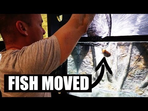 MOVING CICHLIDS TO THE NEW AQUARIUM