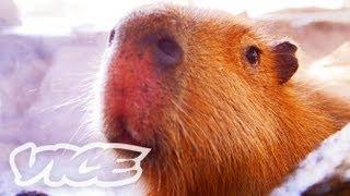 カピバラ温泉 - Capybara Onsen