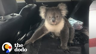 Guy Finds Wild Koala In The Back Seat Of This Car | The Dodo