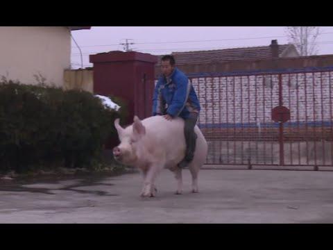 Hog Rider: Chinese farmer saddles his huge pig