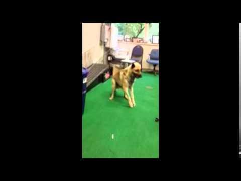German Shepherd Shot, Sodomized And Left For Dead.