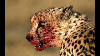 /africa wildlife wild animals in africa documentary predators 2018