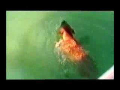 Собака напала на акулу!!!