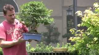 Bonsai - Working the Roots