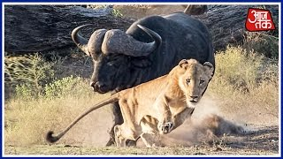 WATCH: Buffalo Charges After Lioness In Gujarat's Gir Fore..
