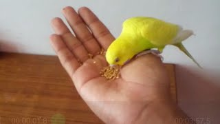 How to tame a budgie || step 2 / world of birds