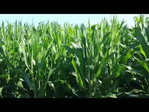 Pioneer Corn Plot 2013 {The Marsh} | Week 10