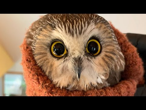 Meet the Owl Found in the Rockefeller Center Christmas Tree | NBC New York
