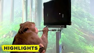Watch Elon Musk's Neuralink monkey play video games with his brain