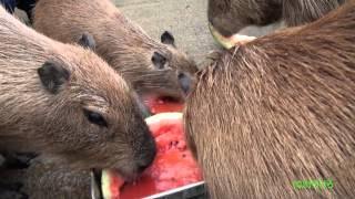 カピバラのスイカタイム2012 (Capybara eat watermelon 2012)