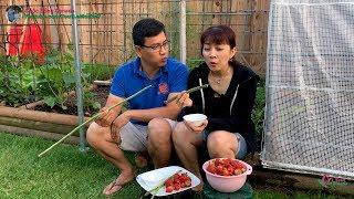 Cắt Măng Tây, Hái Dâu Tây Ăn Ngay Tại Chổ 🇨🇦289》 Eating Freshly Picked Asparagus and Strawberries