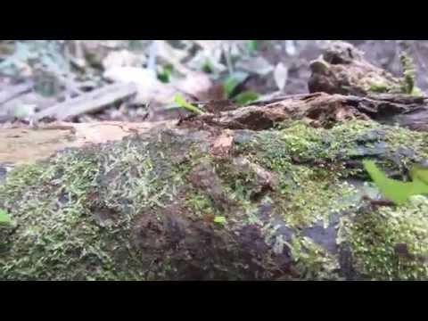 Leaf Cutter Ants at Work in Amazon