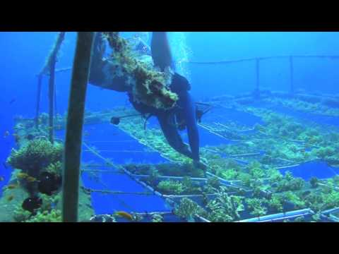 Coral reef rehabilitation - Israel