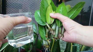 4 Parts of Zz Plant & Water Propagation of Cuttings