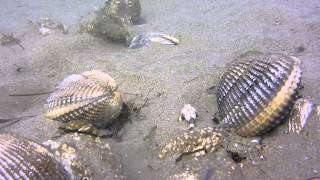 Netarts Bay scuba diving in clam beds with crab and small life
