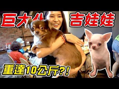 【吉娃娃狗聚】驚見重達10公斤的巨大化吉娃娃 狗狗當場被震撼到..『全場最重』|亂入狗聚會EP04|【希露弟弟啃雞腿】比熊 貴賓 Chihuahua Bichon Frise Poodle