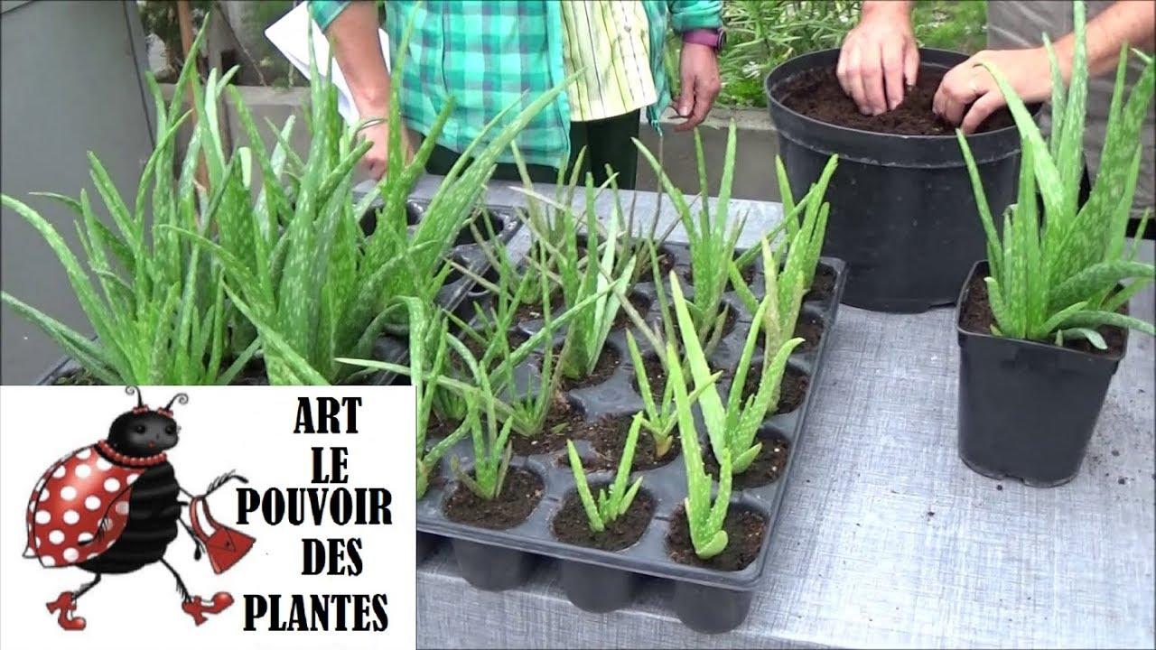 Image Plante Aloe Vera plante d'aloe vera