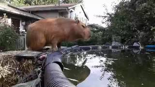 Capybara Training: Olympic Diving