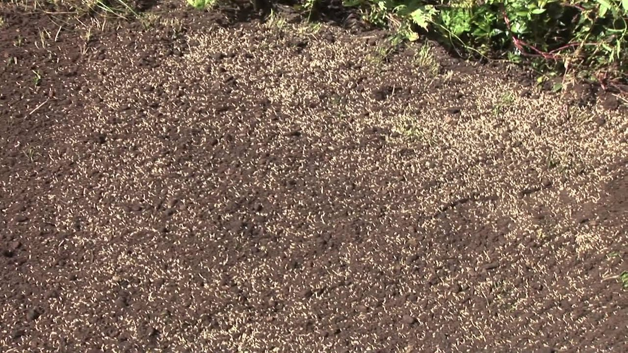 How To Germinate Lawn Seed - YouTube
