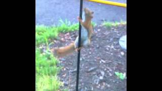 Squirrel on Greased Pole