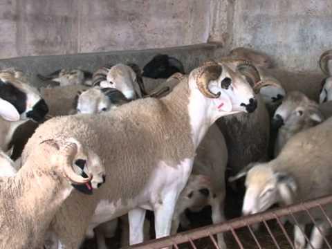 maroc acheter son mouton de l 39 a d sur internet c 39 est possible youtube. Black Bedroom Furniture Sets. Home Design Ideas