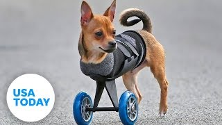 This two-legged dog's wheels are cooler than yours!