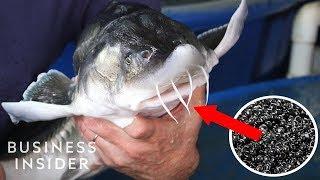 Inside America's Only Beluga Caviar Farm