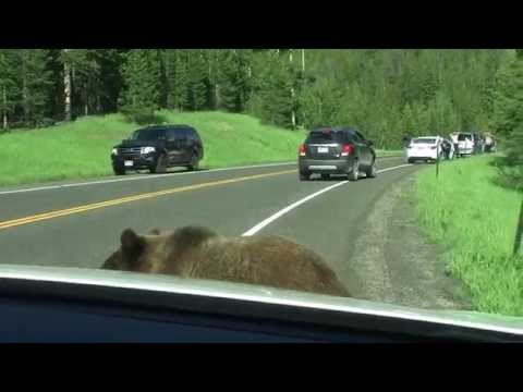 Yellowstone Grizzly Bear -