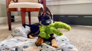 My New German Shepherd Puppy