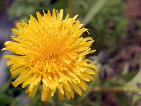 Dandelion by Tevin Campbell