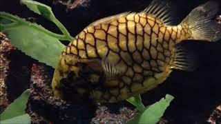 Varieties of fish Pineapple Fish, nature and calm Music, Meditation,relaxing Yoga