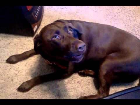 Chocolate Lab Dog Talks