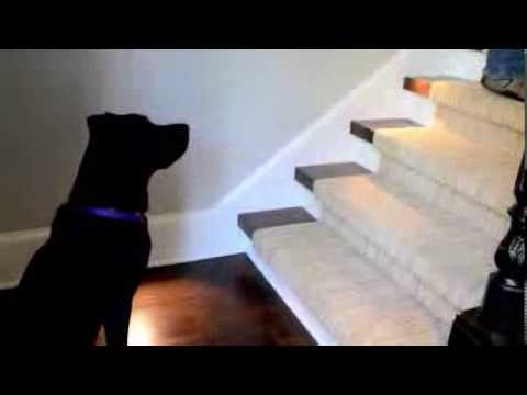 Training a Dog to Wait Before Going Up or Down Stairs