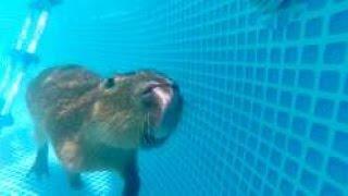 Capybara Swimming In The Pool