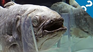5 Bizarre Facts About the Coelacanth | What the Stuff?!