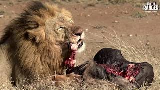 Lion Pride Breakfast Scene Turns To Chaos   Maasai Mara Lions