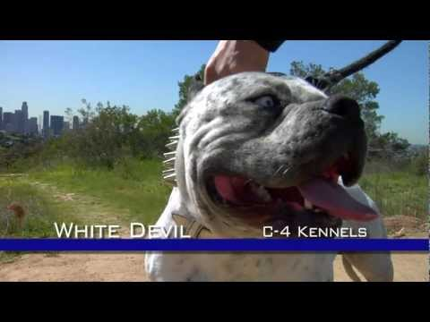 WHITE DEVIL - MOST EXTREME LOOKING PITBULL DOG