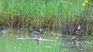 (Cấm xem.)bẩy chim trích ré lỗi lụp cùi bắp và mồi cùi mía MCthế hiển0914395359
