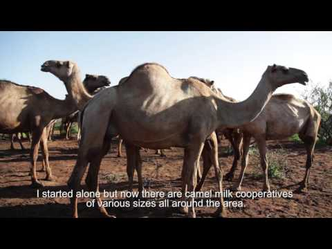 Camels 4 Climate Adaptation