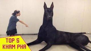 50 Chú Chó Lớn Nhất Thế Giới Bạn Sẽ Không Tin Vào Mắt Mình