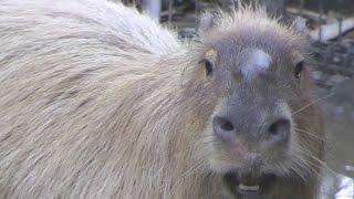 Extraordinary Cry of A Male Capybara 男性のカピバラのファンタスティック呼び出し印象的動作
