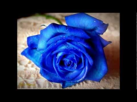Арвид - Роза