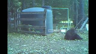 медведь ударил себя по орешкам,  стукнул по яйцам