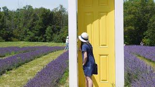 Cuộc sống Toronto - Thăm vườn hoa oải hương - Terre Bleu Lavender Farm