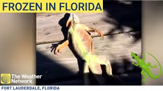 Frozen iguanas are falling from trees in Florida due to 'weather bomb'