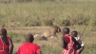 Lion vs Maasai, Amboseli National Park, Safari Kenya 2015