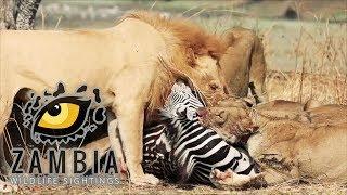 Caught in the act: Lions vs Zebra