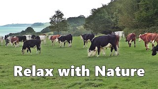 Relax Your Dog TV : Videos and TV for Dogs to Watch - Cows at The Coast ~ Relax with Nature